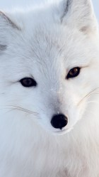 Awesome Wallpaper Anime Arctic Fox images