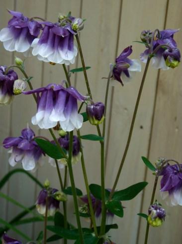 my garden aqualegia