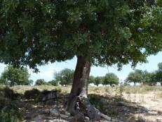 Carob trees in Anogyra