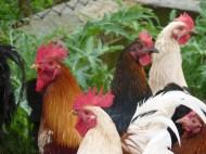 Elena's funcky chickens.