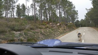 we saw some goats running across the road!