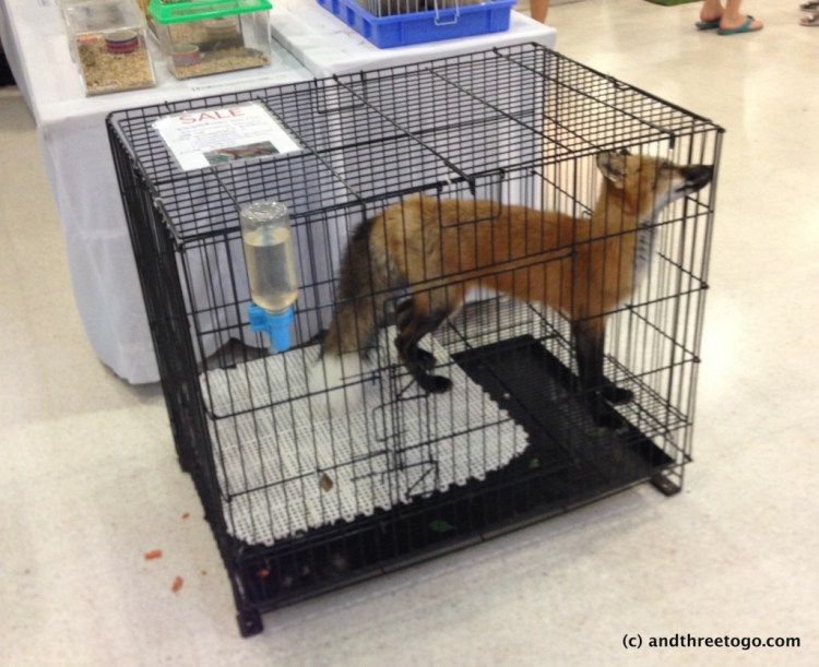 This poor red fox was for sale at the mall a few weeks ago. It was going for 45000 baht and apparently eats Purina Dog Chow. Poor thing. Seeing it like this made my stomach turn.