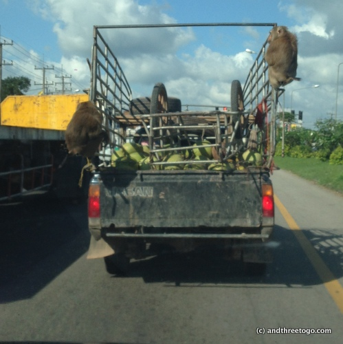 Monkeys on a truck, it's a thing here in Thailand. :)
