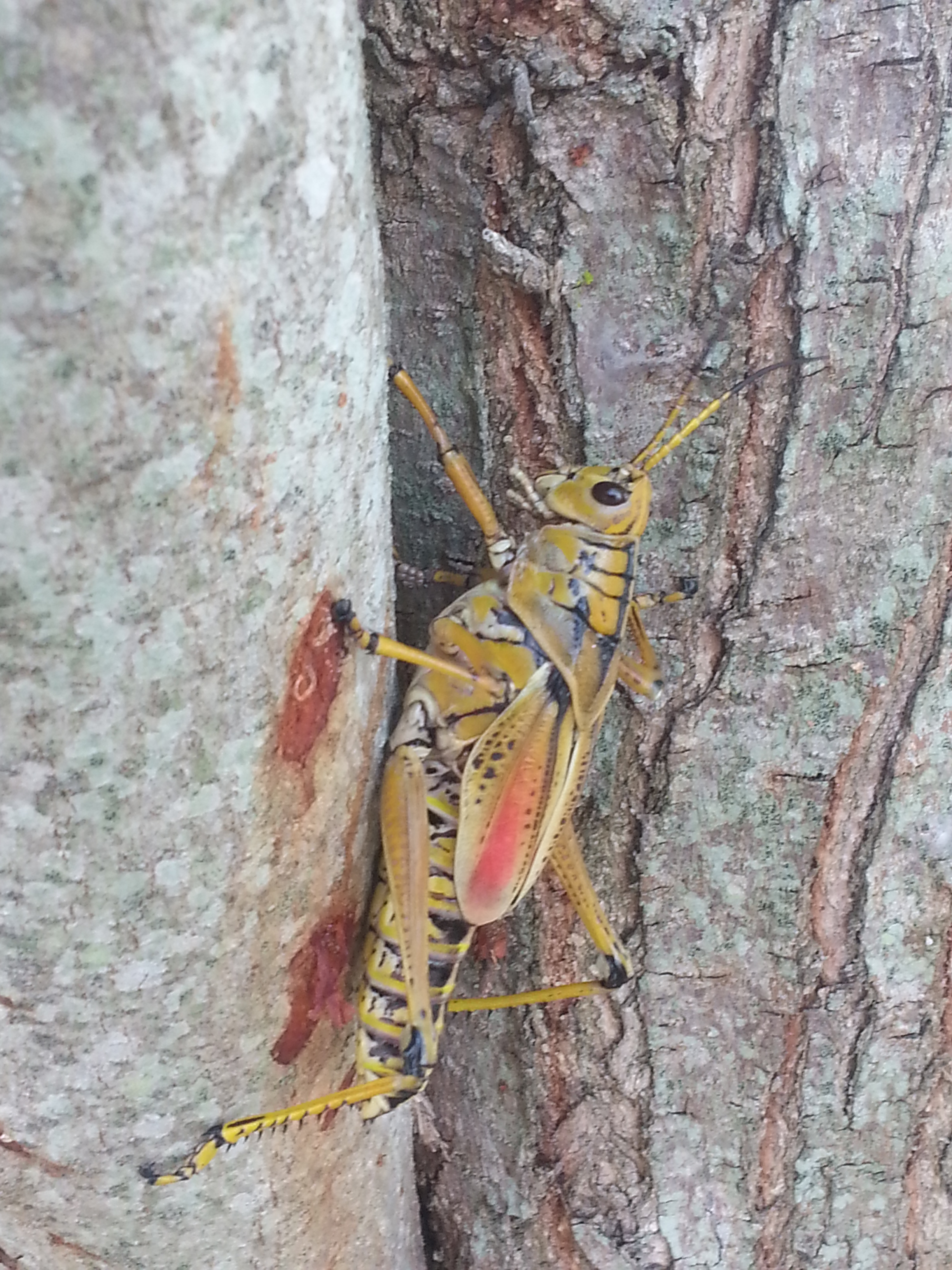 Eastern Lubber Grasshopper Life Cycle