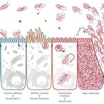 Andy Rader - Scientific Illustration - Salmonella Hyper-replication