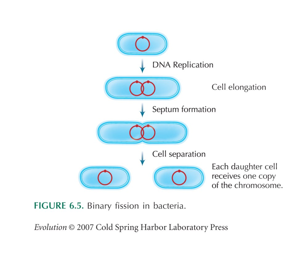 medium resolution of binary fission works like this