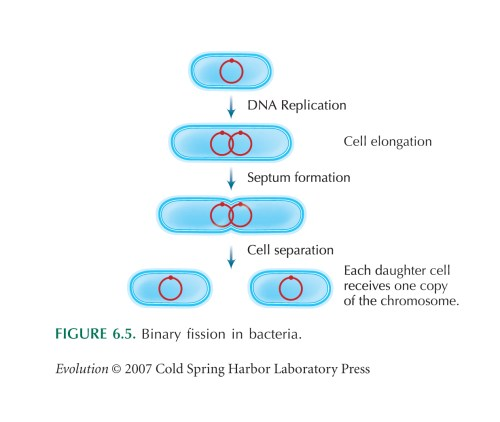 small resolution of binary fission works like this