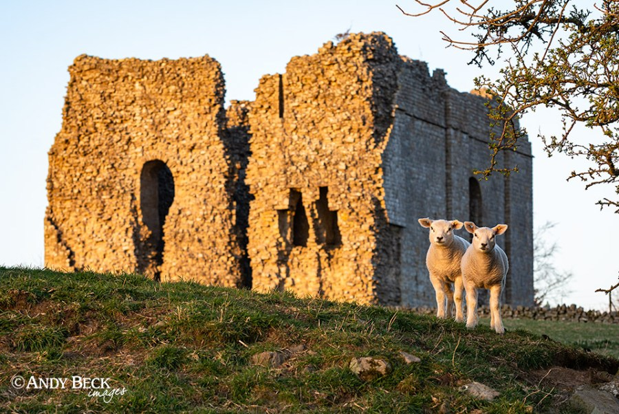 lambs at the castle