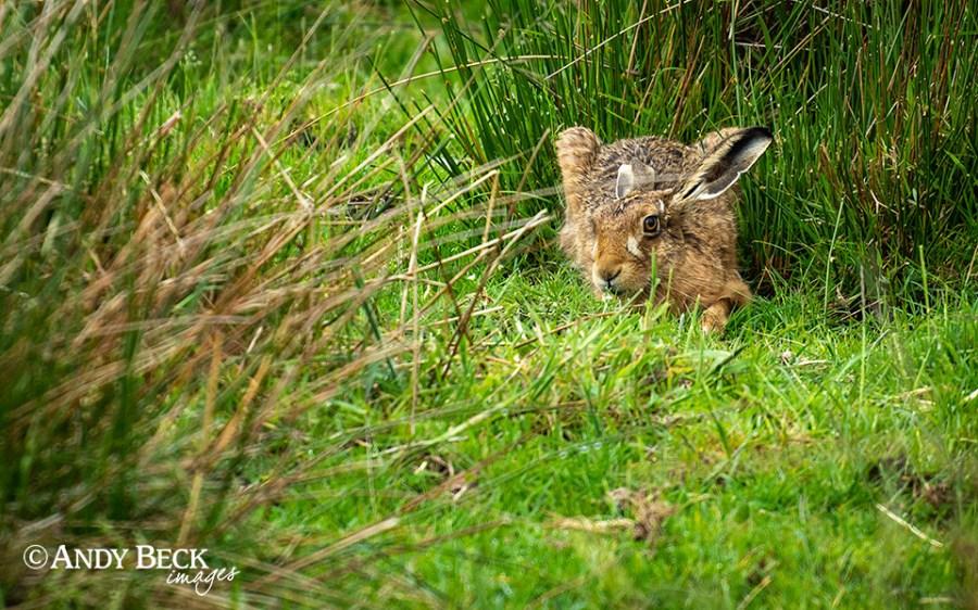 Watching Hare