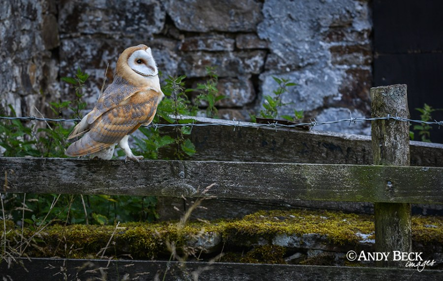 Barn Owl in Teesdale