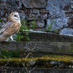 Barn Owl in Teesdale