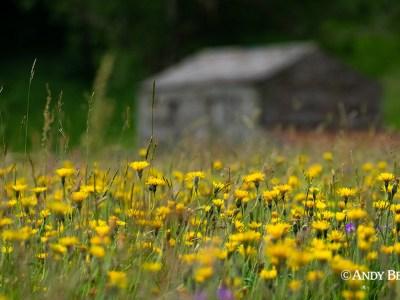 Late summer haymeadow, Swaledale