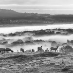 Sheep and the mist