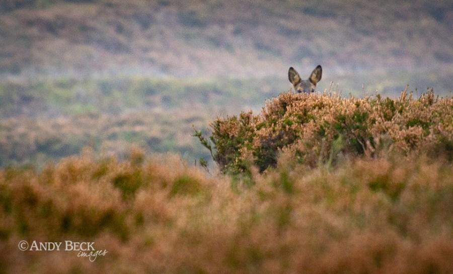 Peeping Roe Deer