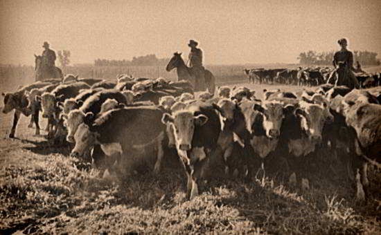 Cowboys & Cattle - John Vachon