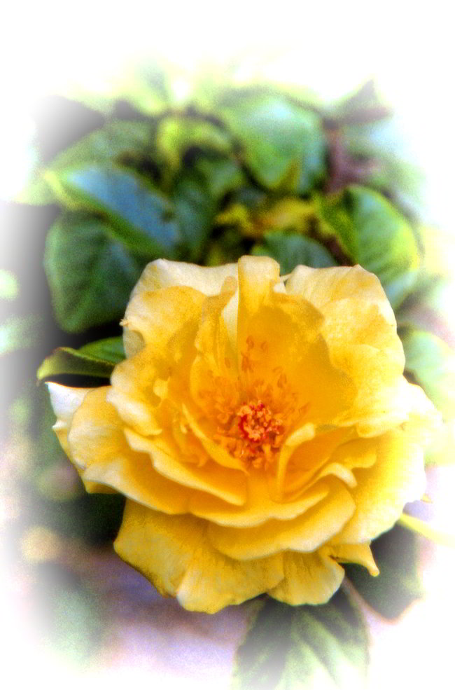 Yellow Rose in Shreveport - Frugal Guidance 2 - Copyright 2014 by Andrew Brandt