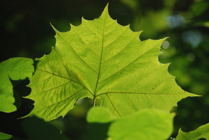 sycamore leaves 2 pinehaardt 9-2014 (6)