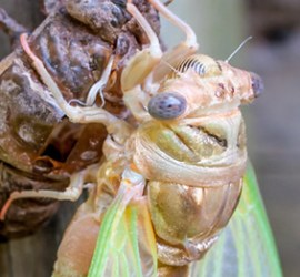 Cicada life cycle