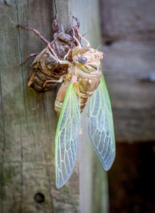 This cicada has freed itself from its drying exoskeleton after a struggle the is perfectly symbolic of our day to day struggle and need for perseverance.