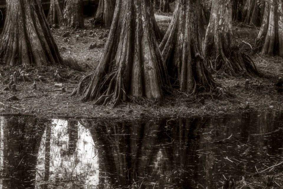 cypress tree swamp photography