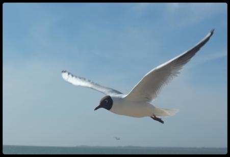 gulls7