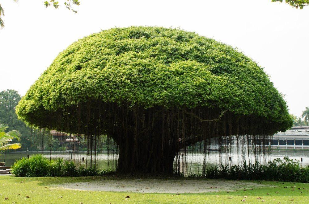 banyan trees in hawaii