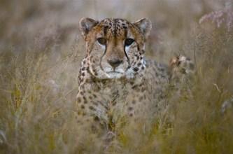 Leopard in Okonjima - picture courtesy of Namibia Tourist Board.