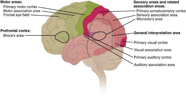 usc-music-brain-study-cortical-areas.jpg