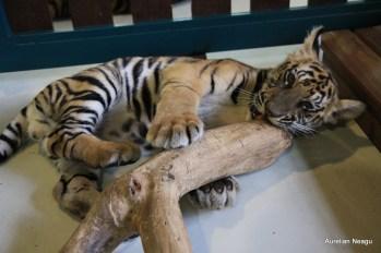 Tiger Kingdom, Chiang Mai 10
