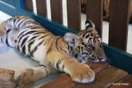 Tiger Kingdom, Chiang Mai 11