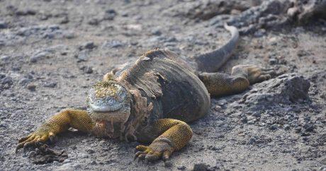 Yellow Iguanas