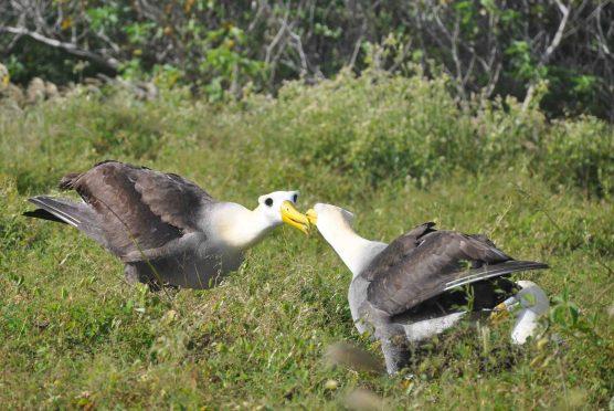 Albatrosses doing their weird mating dance