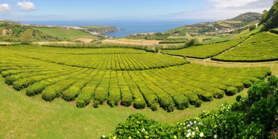 Europes only tea plantaions are on the Azores