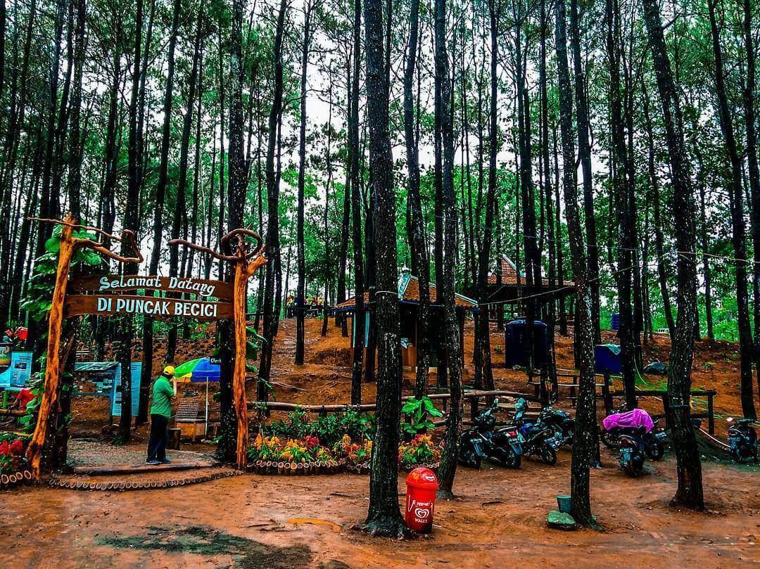 hutan-pinus-puncak-becici