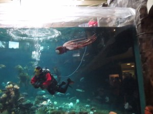 watching the octopus swim with the scuba diver at the vancouver aquarium with kids