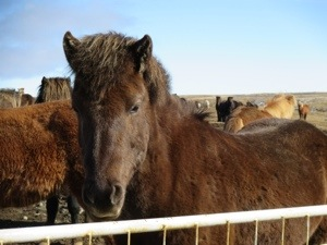 icelandic horse we stopped to see as we drove with kids on our trip