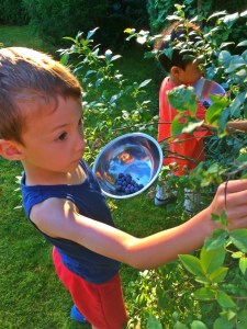 picking blueberries wtih kids