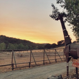 Glamping at Safari West means you can see the sunset and watch the animals at all times of the day