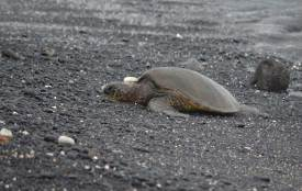 Sprachlos-in-Hawaii-Schildkröte