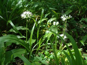 Flowers, Ramsons, May 2012