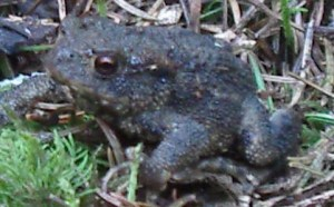 Amphibian, Common Toad, July 2012