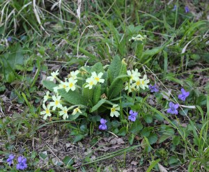 Flowers, primroses and violets, May 2013