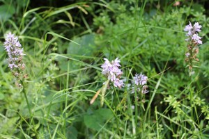 Flowers, Common Spotted Orchid, July 2013