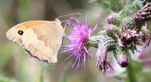 Butterfly, Meadow Brown, July 2013