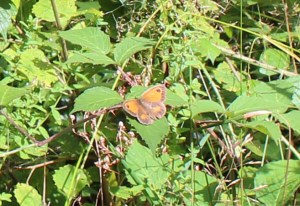 Butterfly, unidentified, August 2013