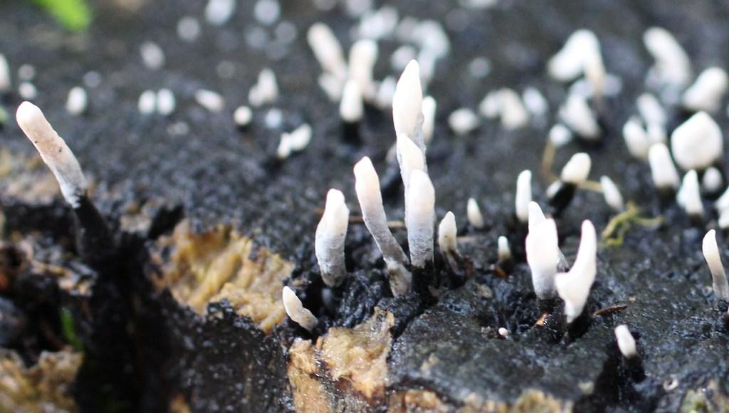 Fungi, Candlesnuff, November 2013