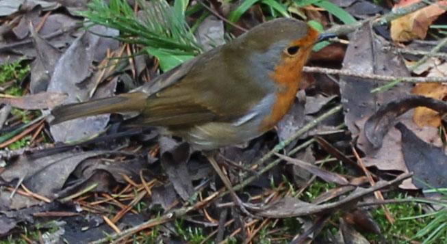 Bird, Robin, December 2013