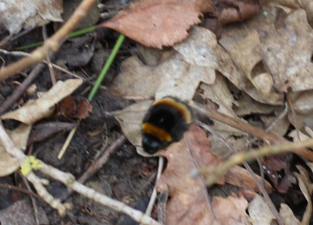 Insect, Bumblebee, March 2014
