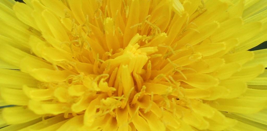 Flower, Dandelion, March 2014
