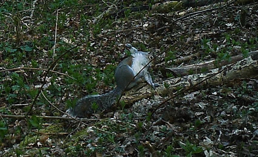 Fauna, Grey Squirrel, March 2014